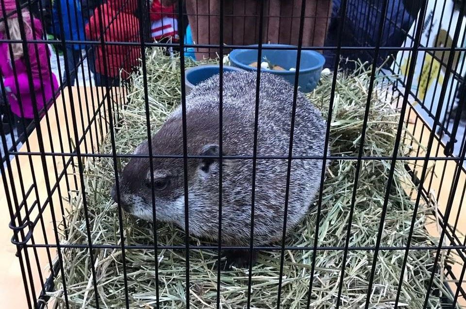 Jimmy the groundhog in his cage